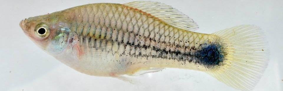 X. variatus Peduncular Spot